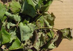 Arsura frunzelor 2