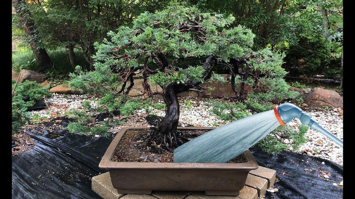 Udare bonsai